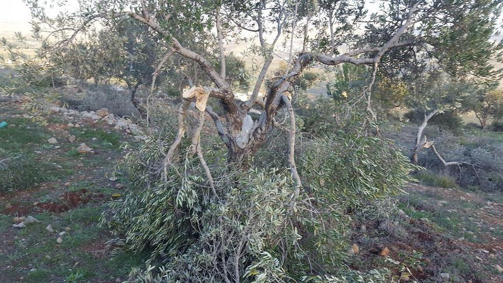 עצי זית ניזוקו (צילום: זכריה סדה, רבנים לזכויות אדם) (צילום: זכריה סדה, רבנים לזכויות אדם)