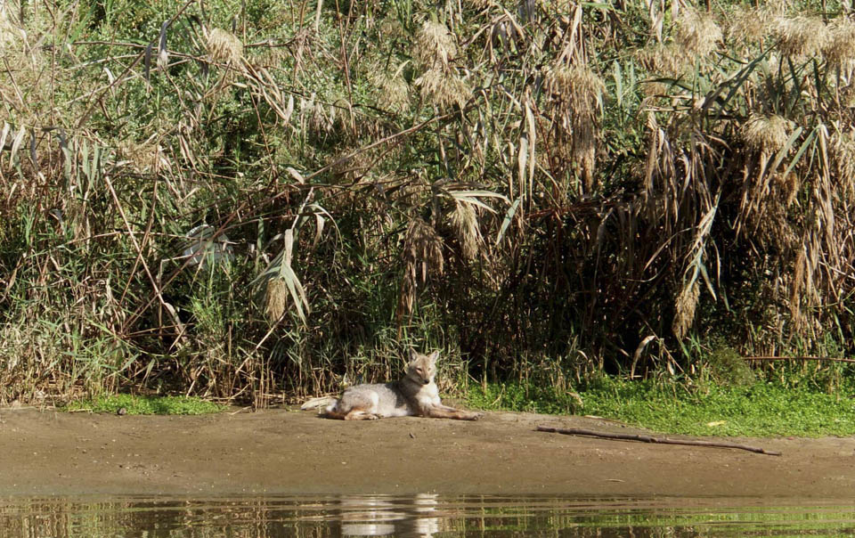 Шакал около реки Ха-Яркон. Фото: Леон Левитас