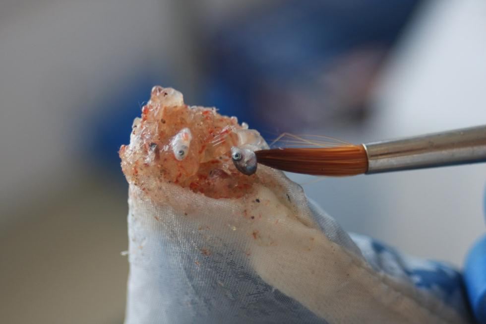 דגימת פלנקטון טרייה עם לרוות (צילום: מיטל מרקוביץ)