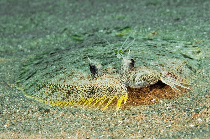 משפחת הסוליתאים סנדליים - Bothidae  - בוגר (צילום: אילן בן טוב)