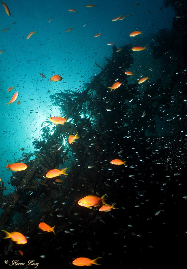 פזית ים סוף (צילום: קרן לוי)