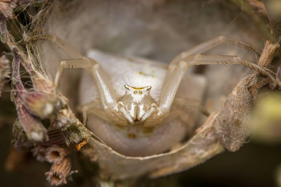 נקבת סרטביש בקינון על שיח זוטה, לאחר שהטילה את הביצים ואטמה את הקן | יעקב חברוני ()
