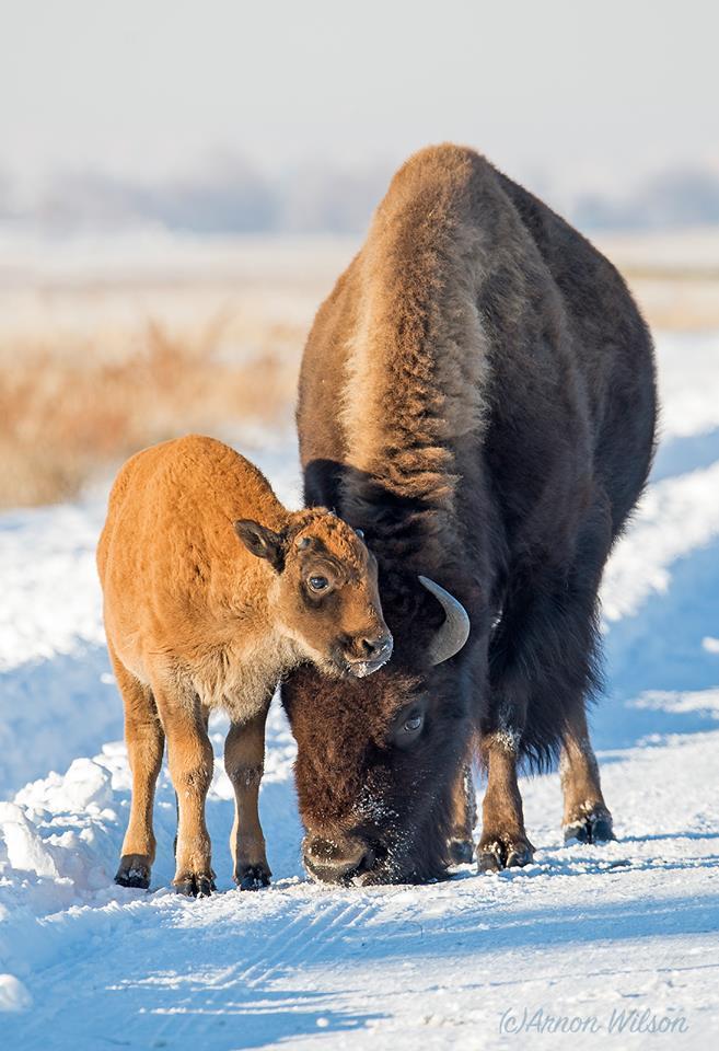 ביזונים אמריקאים בשמורת טבע רוקי ארסנאל בדנבר קולורדו | ארנון וילסון ()