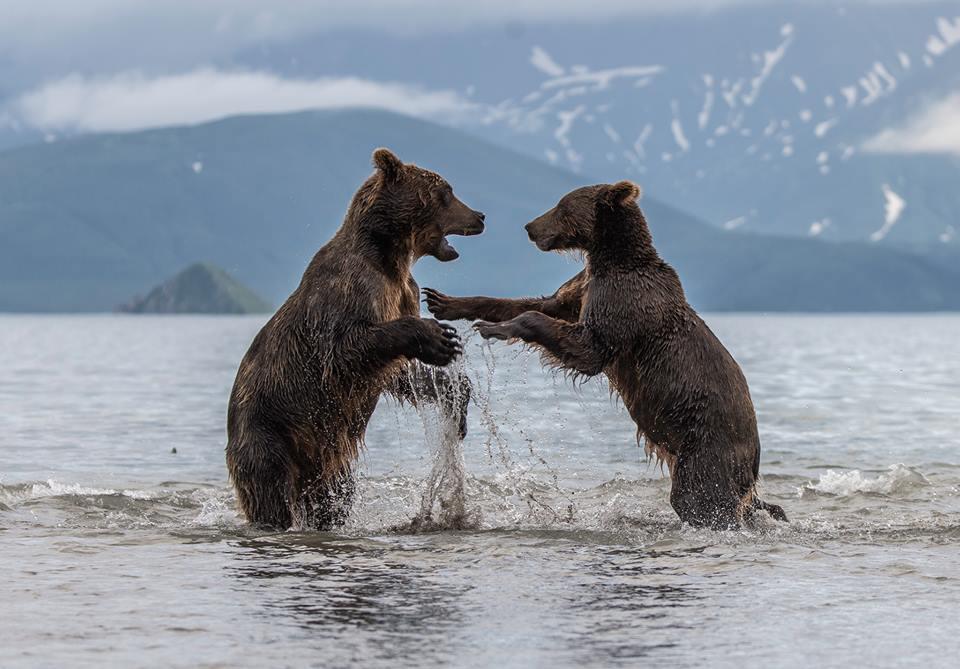 דובים חומים בקרב | עופר שריבקר ()