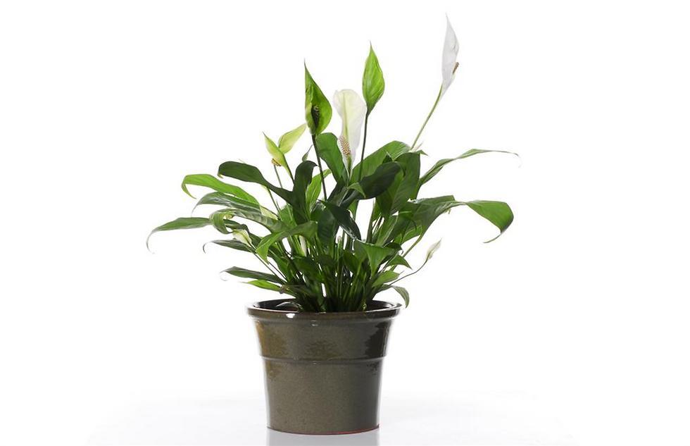צמח טרופי המעשיר ומנקה את האוויר (צילום: shutterstock) (צילום: shutterstock)