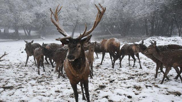 מראות אירופיים של איילים ברמת הגולן (צילום: אביהו שפירא) (צילום: אביהו שפירא)