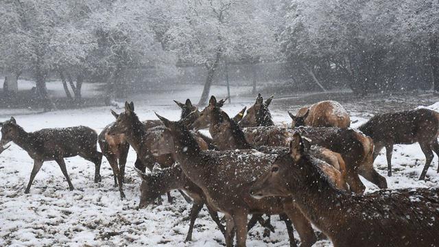 האיילים תחת השלג (צילום: אביהו שפירא) (צילום: אביהו שפירא)