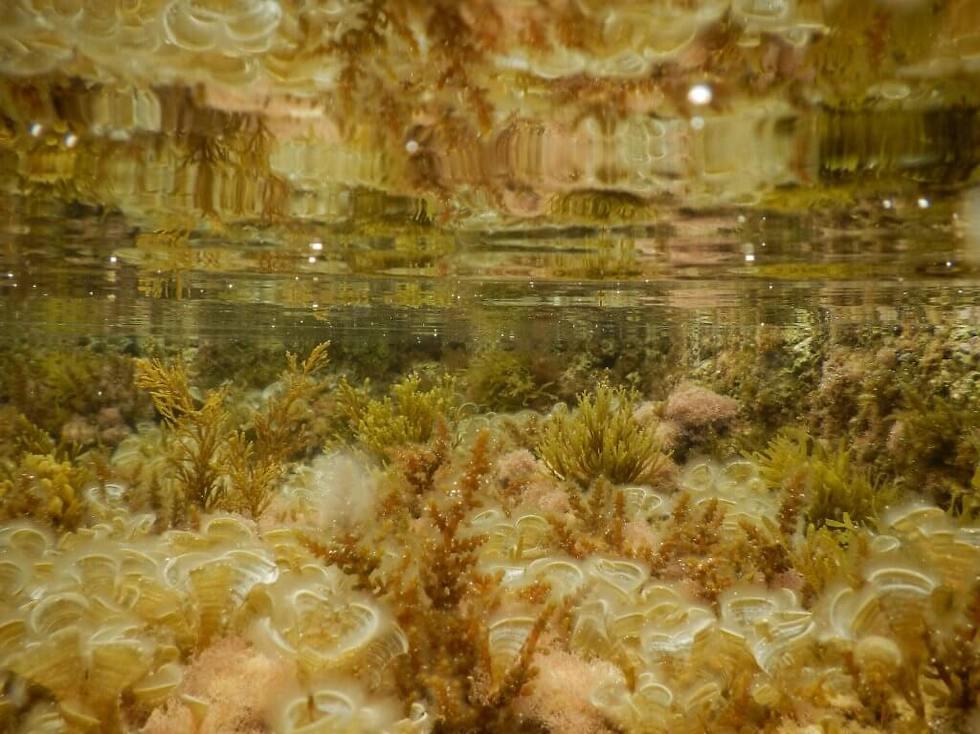 """יער אצות חומיות על השונית בשיקמונה. סביבה הולכת ונעלמת (צילום: ד""""ר גיל רילוב) (צילום: ד"""