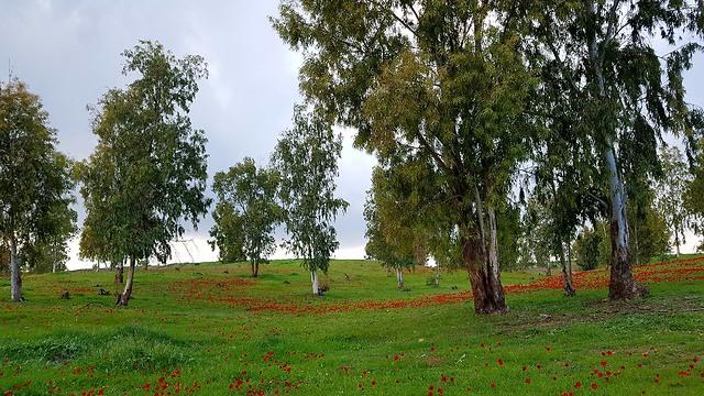 """הפריחה בבאר מרווה, חלקת יער שנקראת על שם מרווה בביאן ז""""ל (צילום: רועי עידן)"""