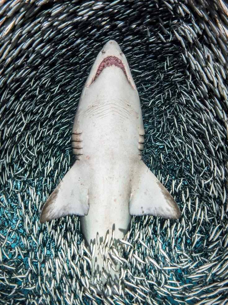 מקום 1   כרישים    Tanya Houppermans, USA