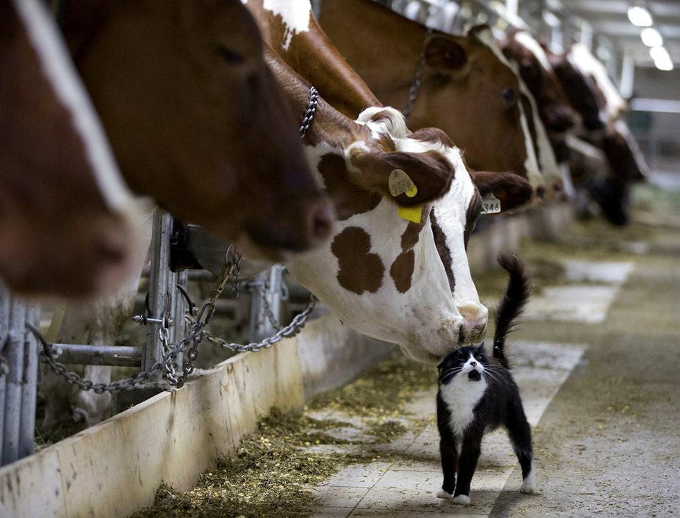 רגע משותף של חיבה בין פרות ברפת חלב לחתול בחווה בקנדה (צילום: REUTERS/Christinne Muschi) ()