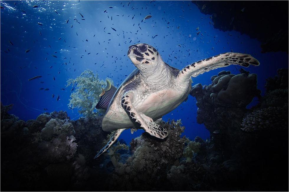 צב ים קרני באילת (צילום: עומרי עומסי, רשות הטבע והגנים) ()