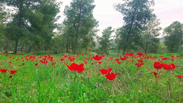 פריחת כלניות ביער דבירה (צילום: חנן לבבי, רשות הטבע והגנים) (צילום: חנן לבבי, רשות הטבע והגנים)