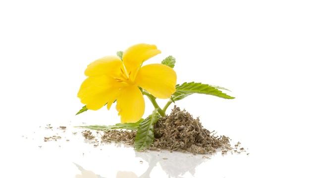 משרה אופוריה עדינה. צמח הדמיאנה (צילום: shutterstock) (צילום: shutterstock)