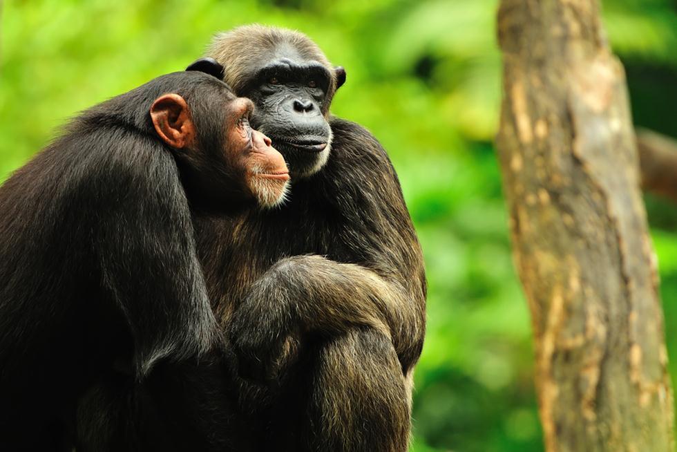 נקבות שימפנזה מזדווגות לעיתים קרובות יותר עם זכרים שהביאו להן בשר טעים (צילום: shutterstock) (צילום: shutterstock)
