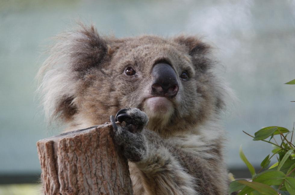 מנדי הקואלה. מתה בגיל 18.5 (צילום: נדב כפיר, גן גורו) (צילום: נדב כפיר, גן גורו)