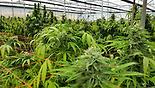 Cannabis farm in Israel