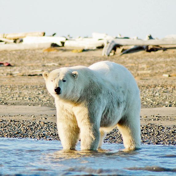 דוב קוטב ליד הכפר קקטוביק