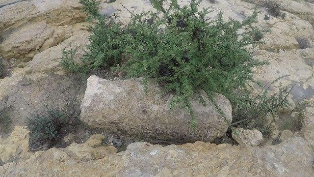 אבן מיל שנמצאה בדרך הבשמים (צילום: גלעד כרמלי) (צילום: גלעד כרמלי)