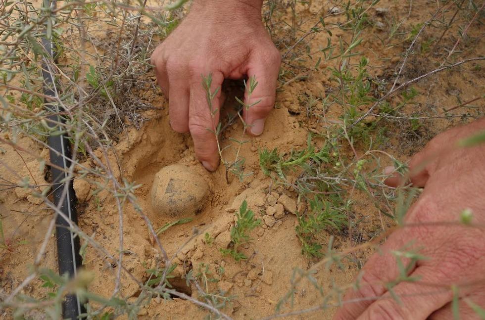 """הפטרייה בשדה הניסוי (צילום: מו""""פ רמת נגב) (צילום: מו"""