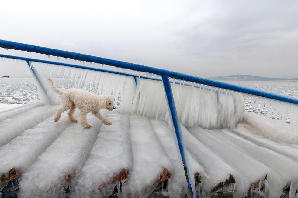 כלב יורד במדרגות מכוסות קרח באזור אגם בלטון שבהונגריה (צילום: EPA) (צילום: EPA)