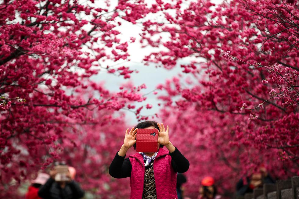 אישה מצלמת עצי דובדבן בטייצ'אנג, טייוואן (צילום: EPA) (צילום: EPA)