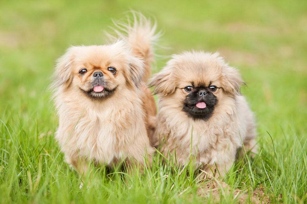 כלבי פקינז. נבחרו לגזע הכלבים האהוב ביותר לשנת 2017 (צילום: shutterstock) (צילום: shutterstock)