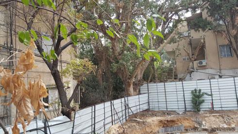 ככה ייעשה לעץ בן מאות שנים, שיזם נדל''ן חפץ לבנות חניון במקומו. השקמה הנאבקת על חייה בלב תל אביב (צילום: תמר ירון)