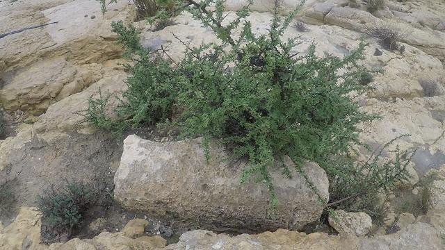 """""""נראה לי שמצאתי"""". אחת מאבני המיל שהתגלו במהלך המסע (צילום: גלעד כרמלי) (צילום: גלעד כרמלי)"""