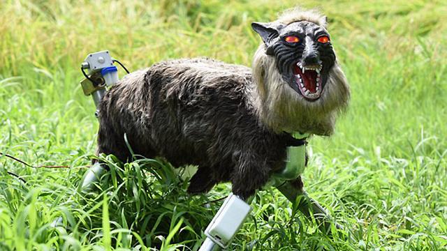 זאב רובוט יפן נגד חזירים (צילום: AFP)
