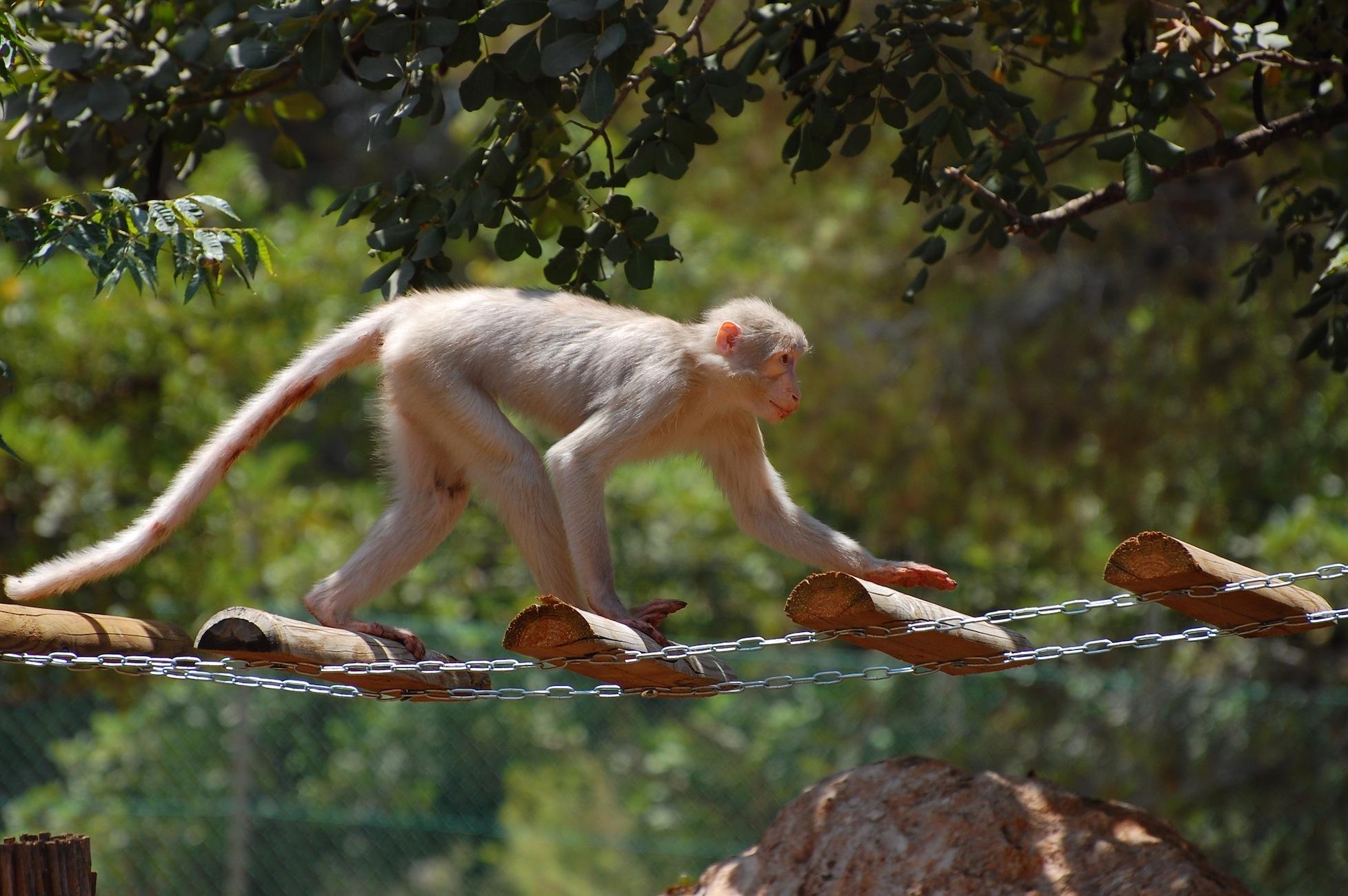 ביקור קופים משוקמים ()