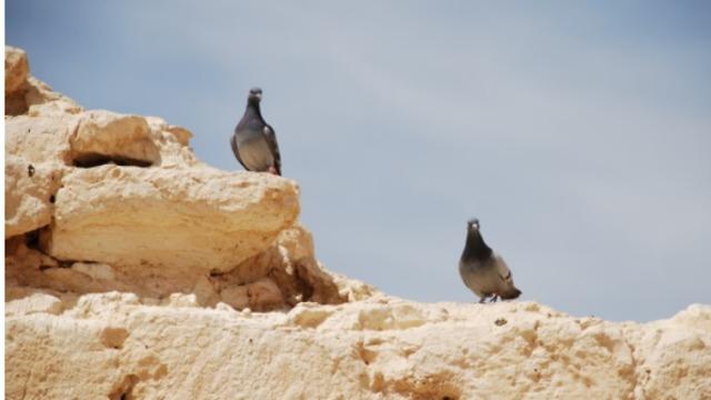 יונים כיום בשבטה (צילום: אוניברסיטת חיפה)