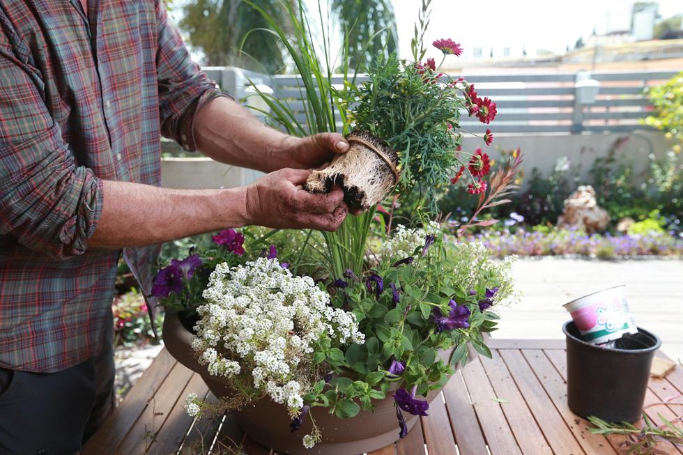 האביב הוא גם זמן אידיאלי להעברת צמחים ממיכל אחד לשני (צילום: אביגיל עוזי)