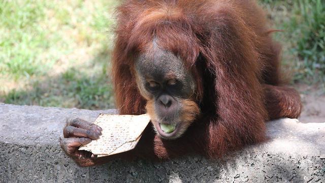 An orangutan enjoys some matzah at Ramat Gan Safari  (Photo: Moti Kimchi)