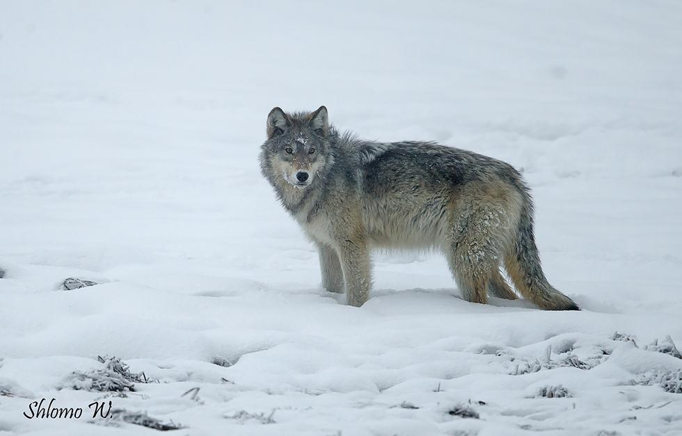 זאבים ביילוסטון (צילום: שלמה ולדמן)
