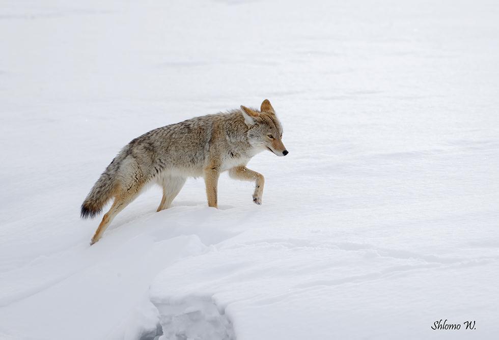 זאב ערבות ביילוסטון (צילום: שלמה ולדמן)