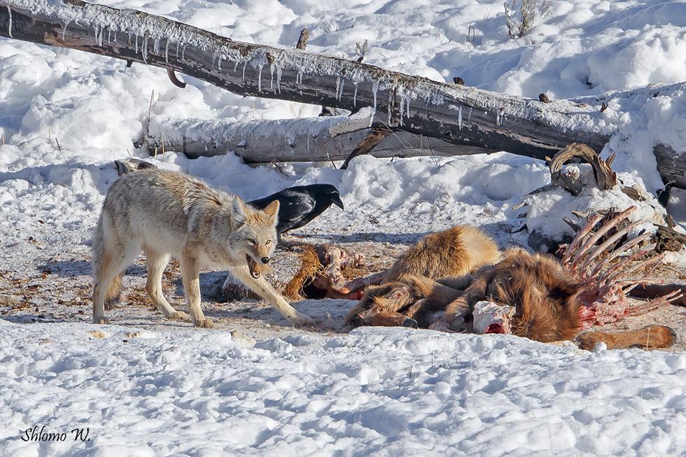 זאב ערבות אוכל מפגר של ביזון ביילוסטון (צילום: שלמה ולדמן)
