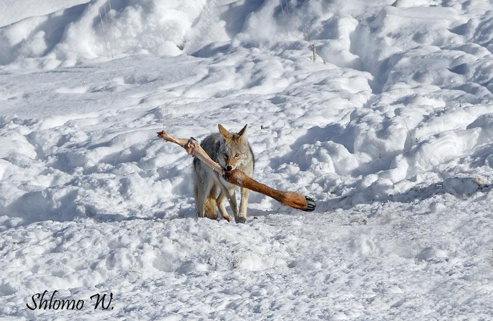 זאב ערבות עם רגל של ביזון ביילוסטון (צילום: שלמה ולדמן)