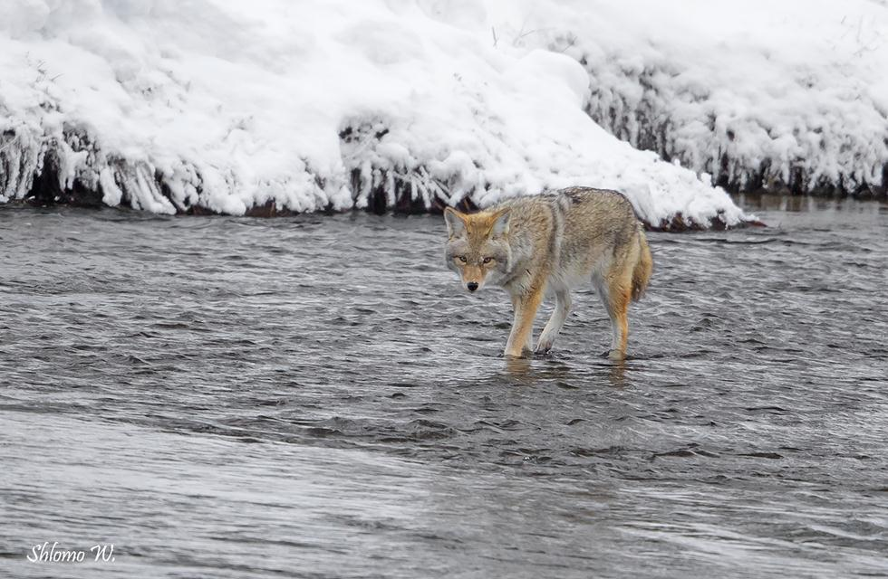 זאב ערבות בנהר קפוא ביילוסטון (צילום: שלמה ולדמן)