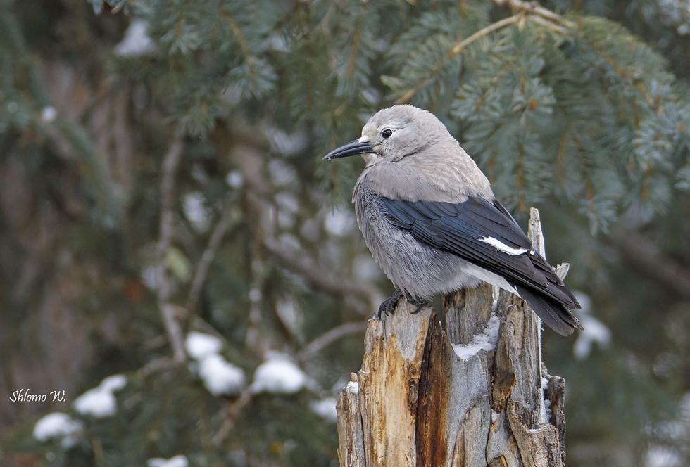 ציפור שיר ביילוסטון (צילום: שלמה ולדמן)
