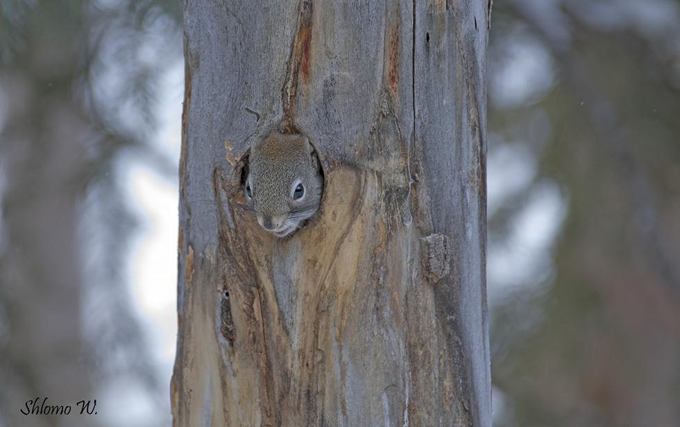 סנאי מציץ מחור בעץ ביילוסטון (צילום: שלמה ולדמן)