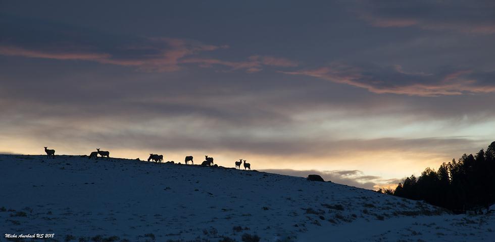 מפת חלוקת להקות הזאבים ביילוסטון (צילום: מיכה אורבך)