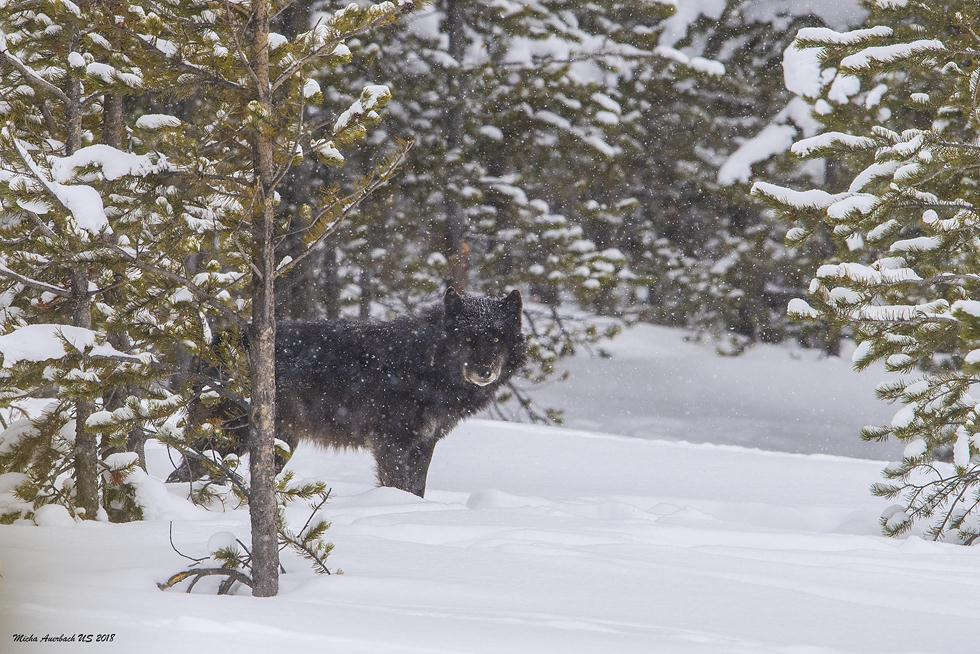 זאב האלפא צופה בצלמים ביילוסטון (צילום: מיכה אורבך)