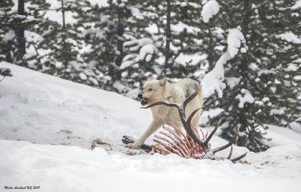 זאבים ביילוסטון (צילום: מיכה אורבך)