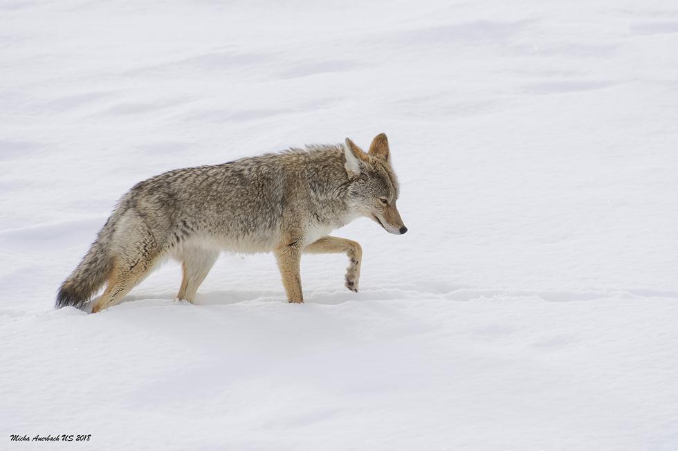 זאב ערבות בשלג ביילוסטון (צילום: מיכה אורבך)