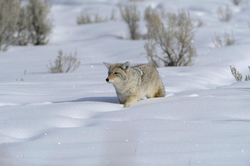 זאב ערבות ביילוסטון (צילום: מיכה אורבך)
