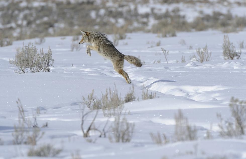 זאב ערבות קופץ ביילוסטון (צילום: מיכה אורבך)
