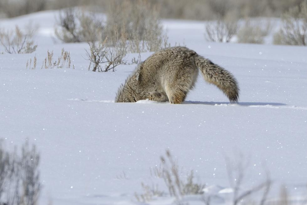 זאב ערבות קבור בשלג ביילוסטון (צילום: מיכה אורבך)