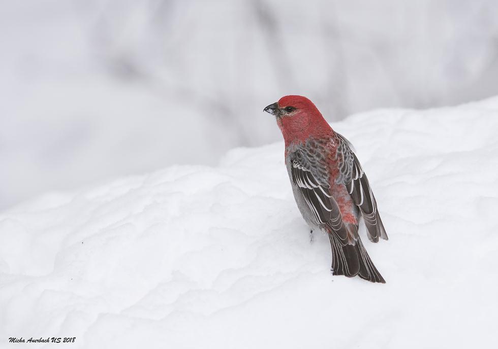 ציפור שיר פרוש (זכר) ביילוסטון (צילום: מיכה אורבך)
