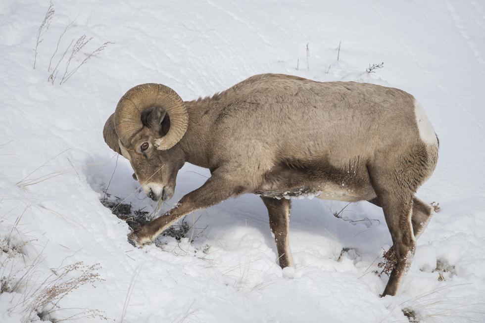 כבש גדול קרניים ביילוסטון (צילום: מיכה אורבך)